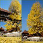 西教寺の銀杏(2017年11月5日)