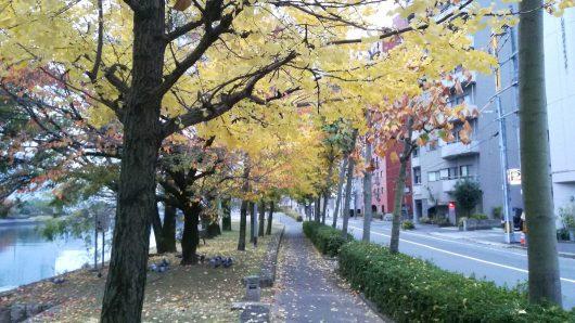 通勤途中の銀杏並木?