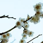 平和大通りの梅も咲き始めています