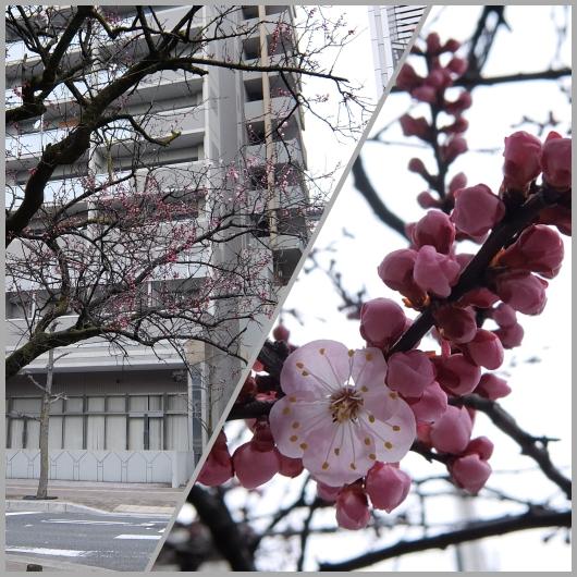 平和大通りで咲く桜