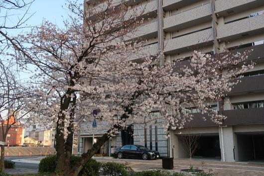 緑大橋そばの桜