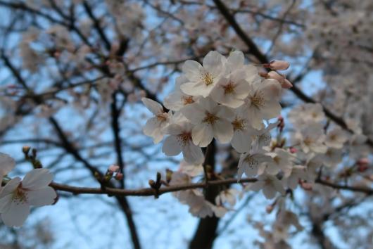 緑大橋そばの桜 アップ