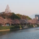 平和記念公園、元安川沿いの桜