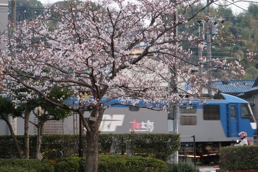 桃太郎と桜