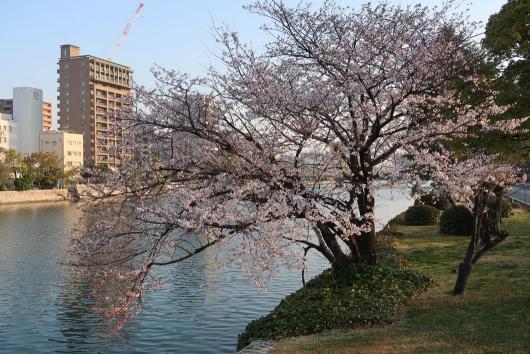 太田川沿いの桜