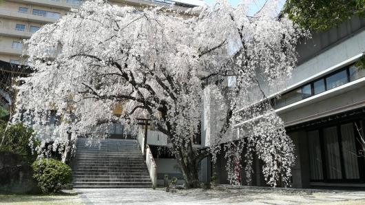 普門寺(広島市中区大手町)の枝垂れ桜