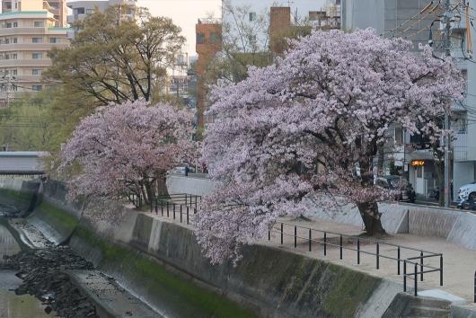 緑大橋そばの桜 橋から