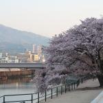 緑大橋そばの桜 遊歩道(?)から