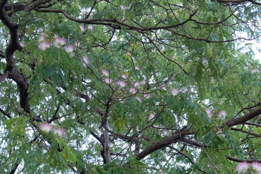 2018年 平和大通り 新己斐橋近くの合歓の木