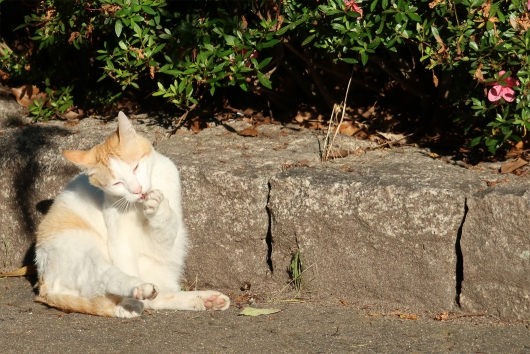 通勤途中の猫さん 足をなめる