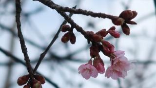 公園に咲いていた気の早い桜(2019年2月16日)