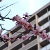 平和大通り 広島トヨペットそばの桜