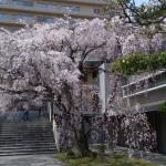 普門寺(広島市中区)の桜