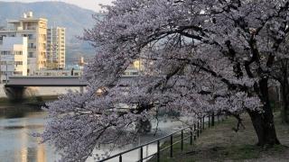 広電電車と桜
