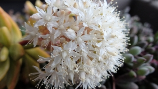 花を咲かせた多肉植物