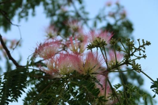 咲き始めたネムノキ