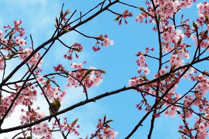 散歩で出かけた公園の桜とメジロ