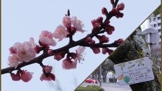 """広島トヨペット近くの""""桜""""?"""