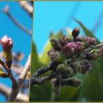 近所の桜 蕾が膨らんできた