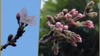 近所の桜 花を咲かせました