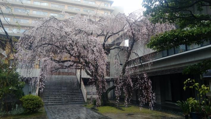 普門寺の枝垂れ桜(2020年)