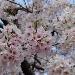 白い桜、ピンクな桜