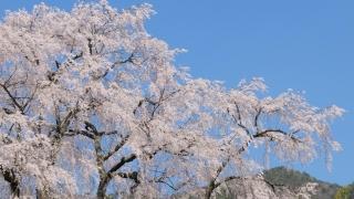 湯の山温泉の枝垂れ桜