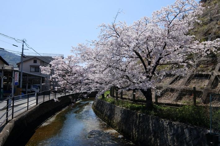 矢野駅近くの桜 2020年