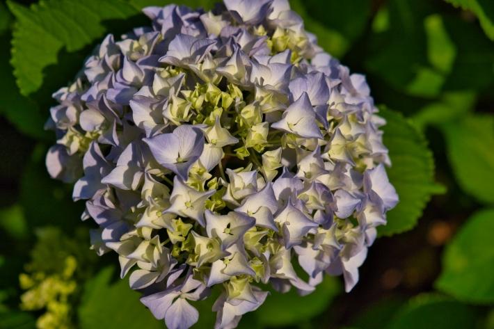 エントランスの紫陽花