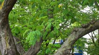 平和大通り 通勤途中の合歓の木 2020年6月1日