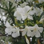 広島市の花 キョウチクトウ