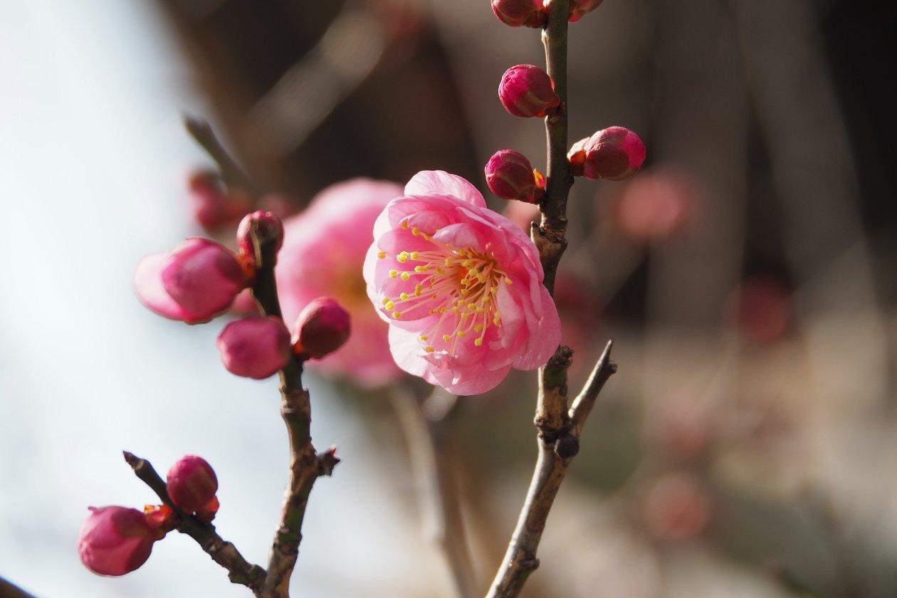 神社に咲いていた梅