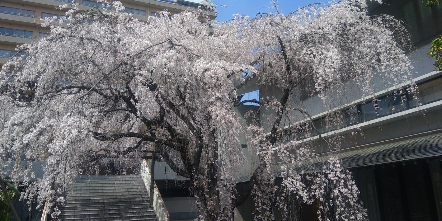 普門寺の枝垂れ桜 2021年 1