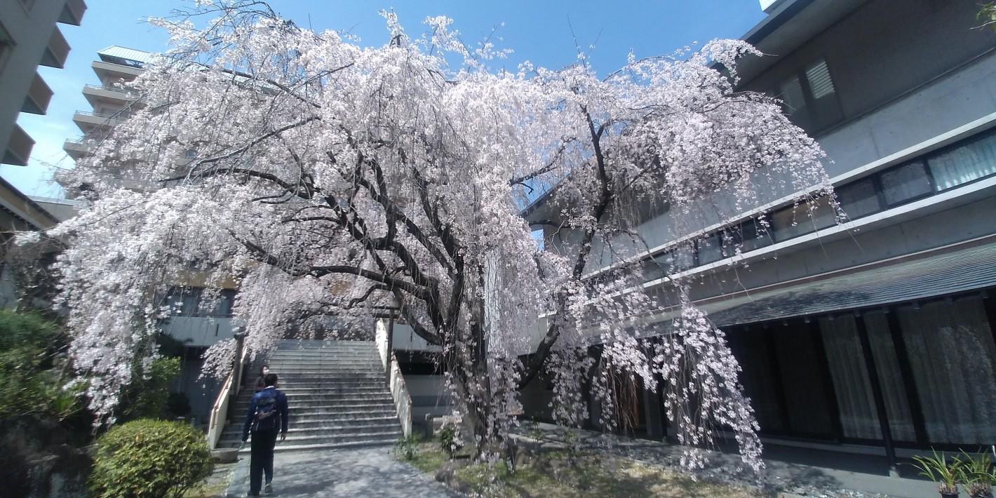 普門寺の枝垂れ桜 2021年 2