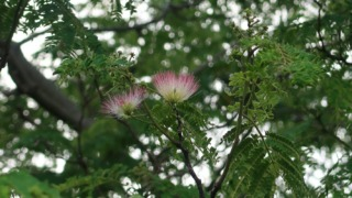 2021年 咲き始めた合歓の木